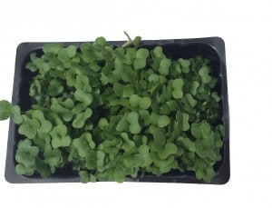 Top View of a punnet of Cress