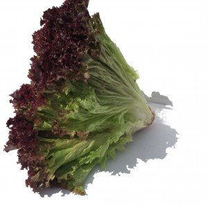 green lettuce with purple tips.