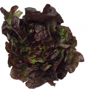 A soft Lettuce with green and purple leaves.