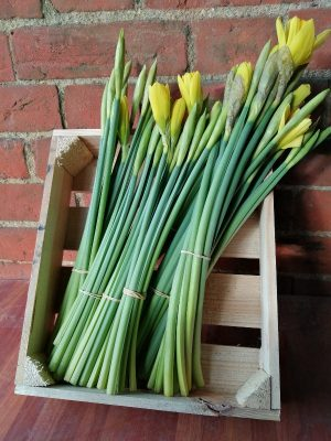 Photo of daffodil stems with some flowers about to burst into flower