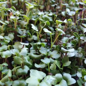 Photo of young sprouting radish seeds