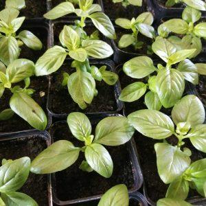 Pot of growing basil